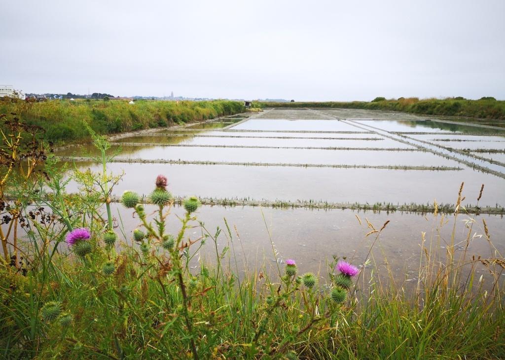 Il n'y a quasiment plus de parcelle abandonnée dans le marais-salant de Guérande (photo : Tugdual Ruellan)