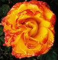 """Une """"rose couleur feu"""" a été créée à son nom"""