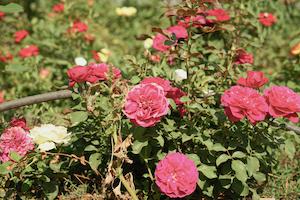 Chassé de Syrie, Salemfait fleurir des roses bio au Liban