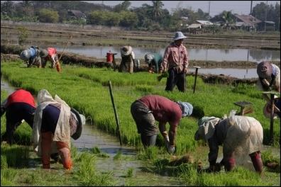 Thaïlande. 2013. Le repiquage du riz. Photo Alain Hervé.
