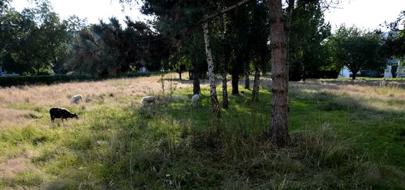Dans cette prairie les moutons peuvent se croire à la campagne Exception faite du bruit des voitures sur le boulevard voisin.